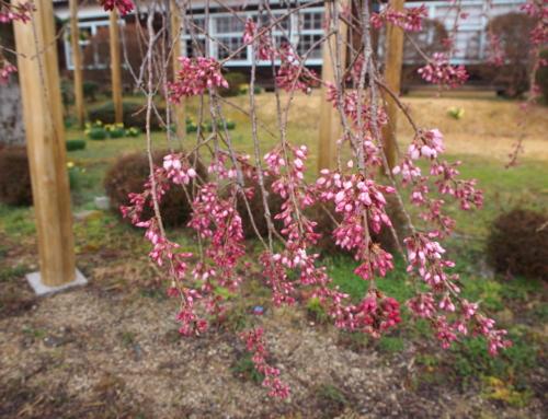 令和2年3月27日「杵原学校の大枝垂れ桜の様子」