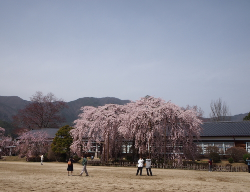 令和3年3月30日 昼 満開2日目!!「杵原学校の大枝垂れ桜の様子