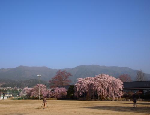 令和3年3月31日 朝 「杵原学校の大枝垂れ桜の様子」