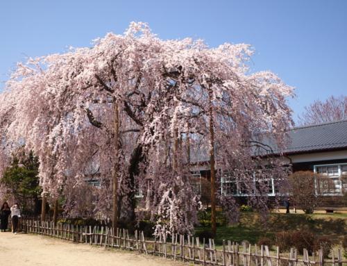 令和3年3月31日 昼 「杵原学校の大枝垂れ桜の様子」