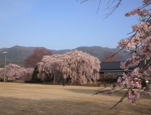 令和3年4月1日 朝「杵原学校の大枝垂れ桜の様子」