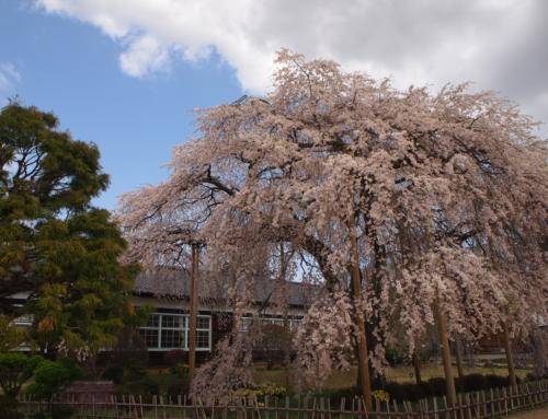 令和3年4月2日 昼「杵原学校の大枝垂れ桜の様子」