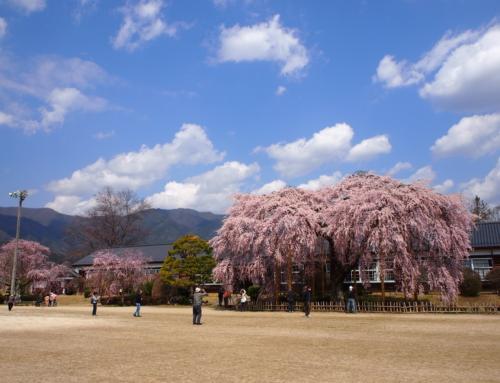 令和2年4月4日「杵原学校の大枝垂れ桜の様子」