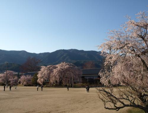令和2年4月5日「杵原学校の大枝垂れ桜の様子」