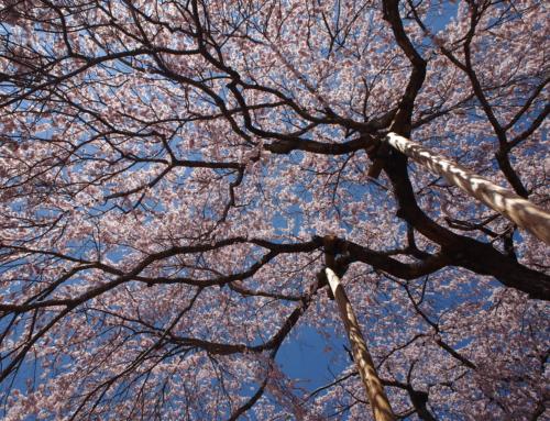 令和2年4月6日「杵原学校の大枝垂れ桜の様子」