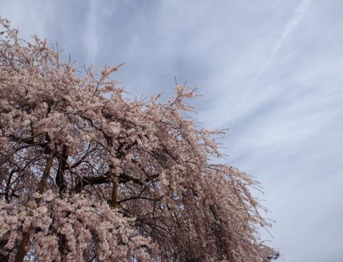 令和2年4月7日「杵原学校の大枝垂れ桜の様子」