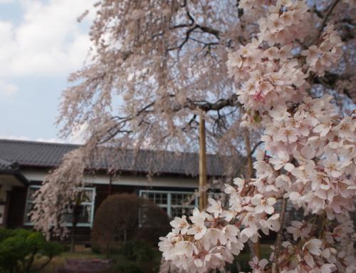 令和2年4月8日「杵原学校の大枝垂れ桜の様子」