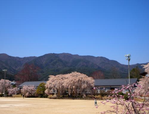 令和2年4月9日「杵原学校の大枝垂れ桜の様子」
