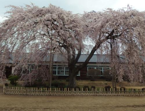 平成31年4月12日「杵原学校の大枝垂れ桜の様子」散り始め