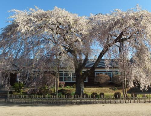 平成31年4月16日「杵原学校の大枝垂れ桜の様子」