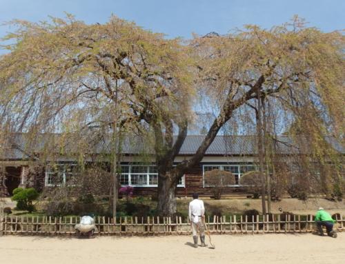 平成31年4月20日「杵原学校の大枝垂れ桜の様子」